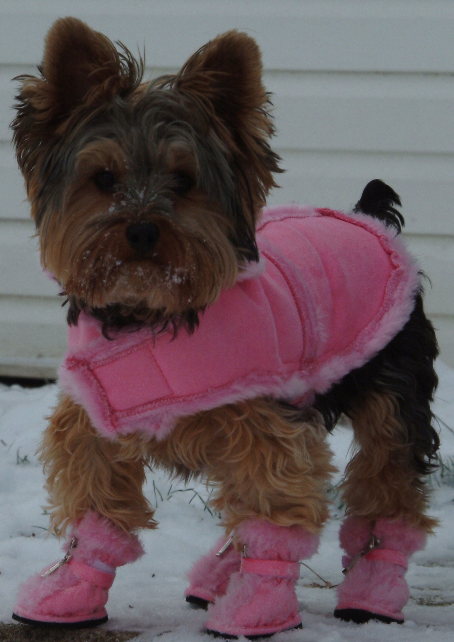 Yorkie Rules Of Fashion Cimple A Curious Introverts Musings